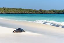 Sea Lion (Zalophus Wollebaeki On Beach On Gardner Bay, Espanola, Galapagos Island, Ecuador, South America.