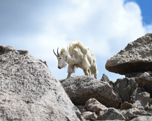 Rocky Mountain Goat Standing O...