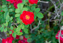 Red Rosa Chinensis Flower With...