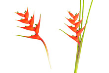 Heliconia Bihai Flower (Red Palulu), Tropical Flowers Isolated On White Background,