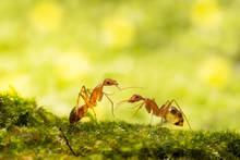 Anoplolepis Gracilipes, Yellow Crazy Ants, On Mos Plant,Concept For Natural Background
