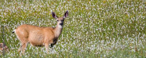 Obraz na plátne Mule deer in flowers