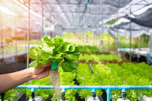 Hand Of Farmer Hold Hydroponics Vegetable In Greenhouse, Fresh Hydroponics Vegetable Farm, Salads Vegetable Hydroponics Farm.