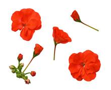 Set Of Red Geranium Flowers