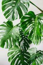 Exotic Tropical Monstera Palm ...