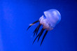 canvas print picture - Deep ocean tropic jellyfish. Exotic creatures hiding in the depths.