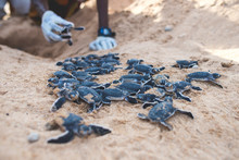 Baby Turtles Crawling Out Of N...