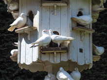 White Doves Showing Courtship ...