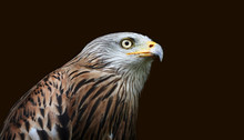 Close-up Of A Red Kite Isolate...