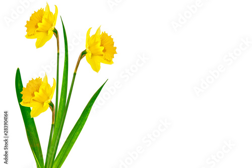 Keuken foto achterwand Narcis spring flowers narcissus isolated on white background