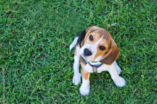 Obraz Portrait of funny young beagle puppy on the walk in the park, resting on juicy green mowed lawn. Small dog with black, brown and white stains outdoors. Background, copy space, close up. - fototapety do salonu