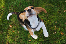 Portrait Of Funny Young Beagle Puppy On The Walk In The Park, Resting On Juicy Green Mowed Lawn. Small Dog With Black, Brown And White Stains Outdoors. Background, Copy Space, Close Up.