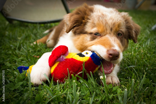 A young Australian shepherd in play. Canvas-taulu