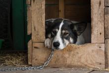 Sad Dog On A Chain