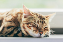 Relaxed Bengal Cat Sleeping Ha...