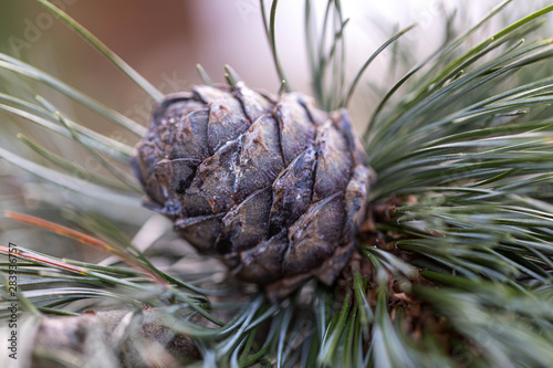 Fototapeta Branches of a swiss stone pine with stone pine cones
