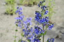 Closeup Penstemon Heterophyllus Known As Bunchleaf Penstemon With Blurred Background In Garden