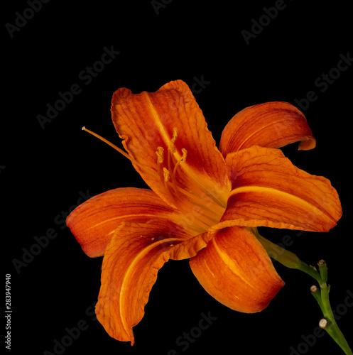 Obraz na plátně  Fine art still life color macro image of a single isolated wide open orange yell