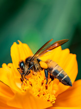 Image Of Giant Honey Bee(Apis Dorsata) On Yellow Flower Collects Nectar On A Natural Background. Golden Honeybee On Flower Pollen. Insect. Animal.