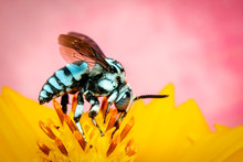 Image Of Neon Cuckoo Bee (Thyr...