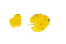 Mulberry Yellow Leaves