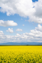 Seemingly Endless Field Of Yel...