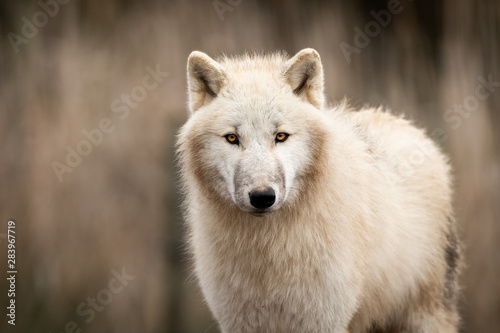 Spoed Fotobehang Wolf Portrait of white wolf in the forest