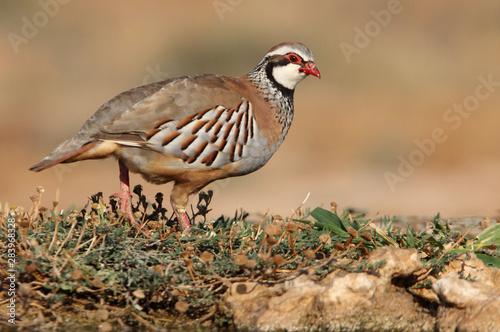 Red legged partridge, Alectoris rufa, partridge Wallpaper Mural