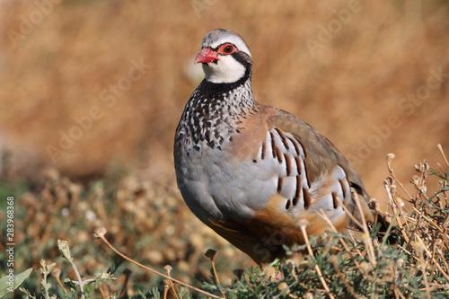 Red legged partridge, Alectoris rufa, partridge Fototapeta
