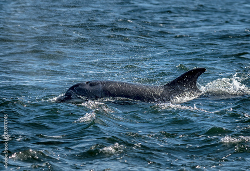 Fotografie, Tablou Bottlenose Dolphin In The Moray Firth At Chanonry Point Near Inverness In Scotla