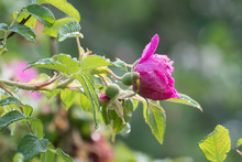 Pink Rose With Raindrops On Green Background