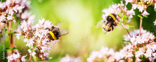 Photo Stands Bee Bumblebee on marjoram flowers