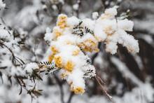 Wattle Bush In Snow