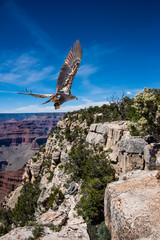 Fototapeta Ptaki Bald Eagle Juvenile Flying Over the Grand Canyon...Some Native Peoples Believe the Eagle can Take Your Dreams to Heaven