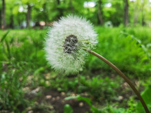 White Dandelion In Forest. Close-up View 2