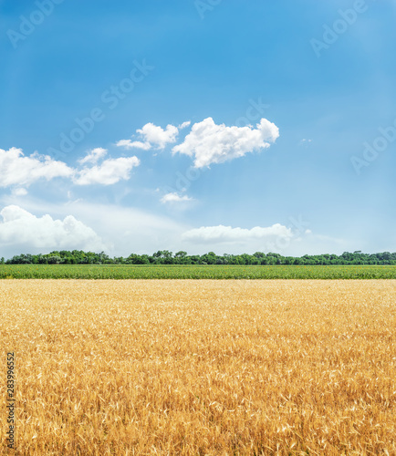 agriculture golden color field and blue sky with clouds Fototapete
