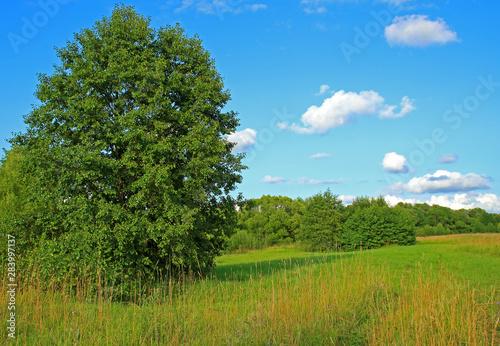 Green summer meadow and big alder tree Wallpaper Mural
