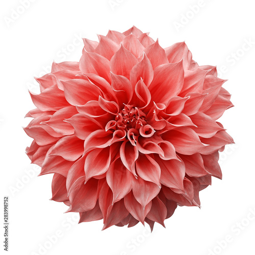 Trendy pink-orange or coral colored Dahlia flower the tuberous garden plant isolated on white background with clipping path.