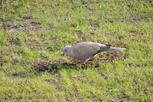 A Eurasian Collared Dove Looki...