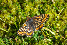 Marsh Fritillary Butterfly Resting On Some Moss