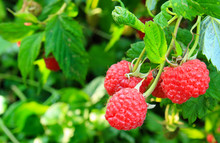 Branch Of Ripe Raspberries In Summer Garden. Red Sweet Berries Growing On Raspberry (Rubus Idaeus) Bush In Fruit Garden. Farm Product Grown Without Fertilizer For Background