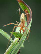 Male Silver Long-jawed Orb Weaver Spider, Tetragnatha Laboriosa, Amongst Plant Leaves, Dorsal View, Vertical