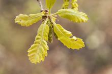 Quercus Faginea Lusitanian Oak Budding Leaves And Greenish Catkins