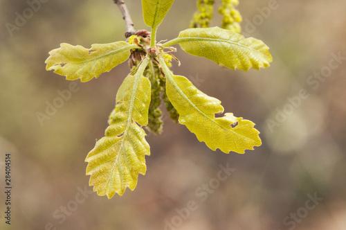 Fotomural Quercus faginea Lusitanian oak budding leaves and greenish catkins
