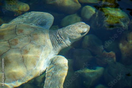 Fotografie, Obraz  Close up of albino sea turtle