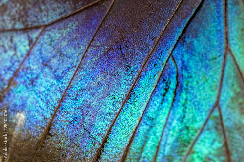 Fotografie, Obraz  Colorful Morpho butterfly super macro, detailed texture of the wing, vibrant ins
