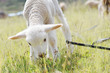 Leinwanddruck Bild - White lamb got entangled on the field.