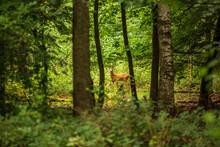 Male Fallow Deer In A Deciduou...