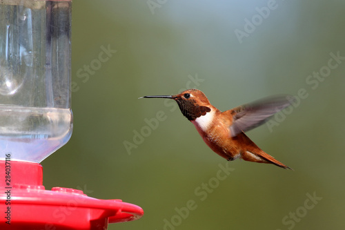 Tablou Canvas An alert  male Rufous Hummingbird hovers near a feeder