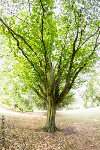 Fotomural Beautiful green tree in park